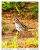 White Throat Sparrow