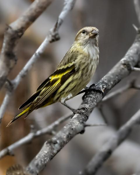 Lesser Goldfinch - Female