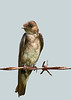 Swallow juvenile
