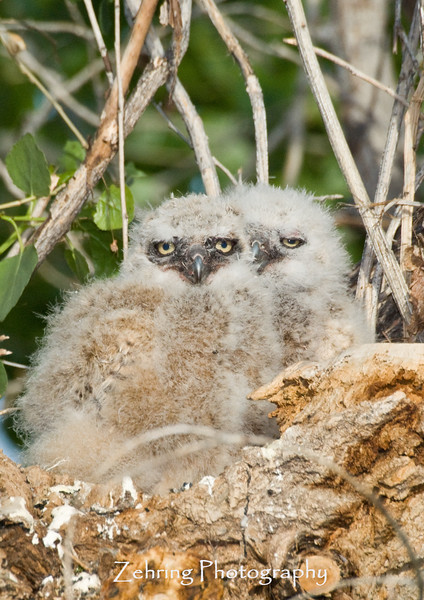 Almost out growing the nest, this pair of great horned owl chicks hardly have room to move.
