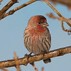 House Finch on Ice  This photograph is protected by the U.S. Copyright Laws and shall not to be downloaded or reproduced by any means without the formal written permission of Bob Arkow Photography.