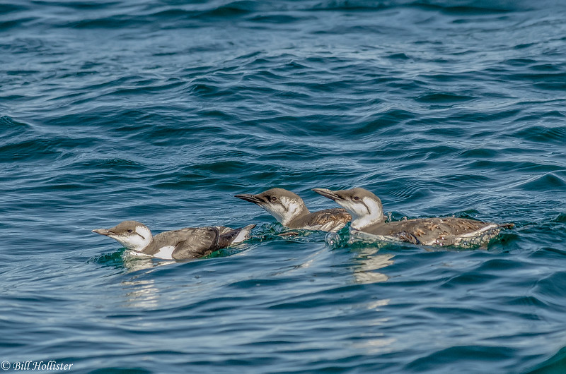 Common Murre off Moss Landing 6