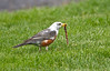 Leucistic Robin - April 2012