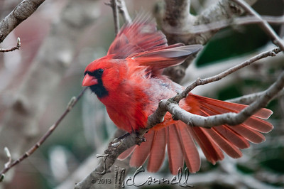 Male Cardinal Showoff