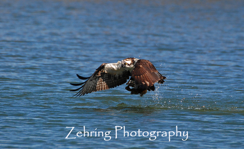 Osprey clutches a fish from the waters of Lake Tahoe.