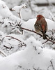 Pretty little male House Finch - Nov 28, 2010