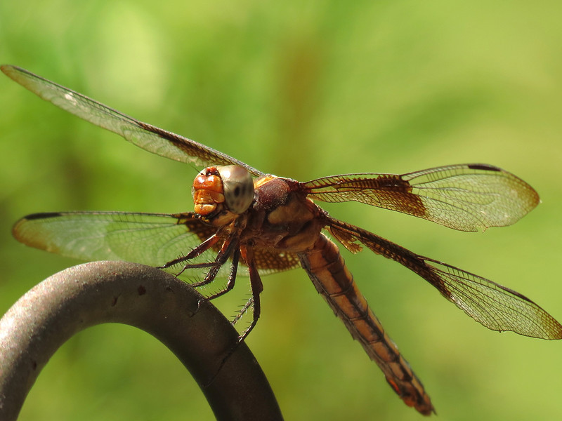 While I was watching this dragonfly, he would suddenly fly up,<br /> catch a small flying insect and then bring it back to this spot and eat it.<br /> These insects are really quite ferocious and eat a lot of smaller insects.