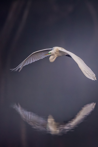 Foggy Great Egret Flight