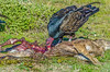 Turkey Vulture with dead deer at Bodega Bay #4-2