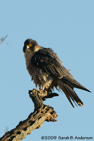Peregrine Falcon, band visible on left leg.<br /> Montgomery County, Maryland<br /> January 2009