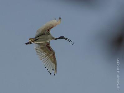 Australian Ibis flight