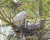 Cattle Egret feeding three chicks