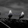 Seagulls, Maine