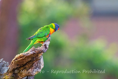 A Rainbow Lorikeet study in green.  Boat Harbour, NSW