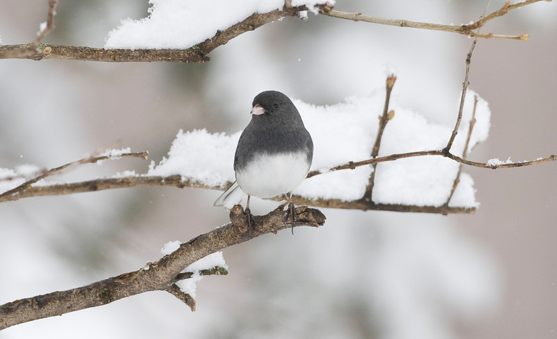 Dark-eyed Junco - February 2008 - Sylvania, OH