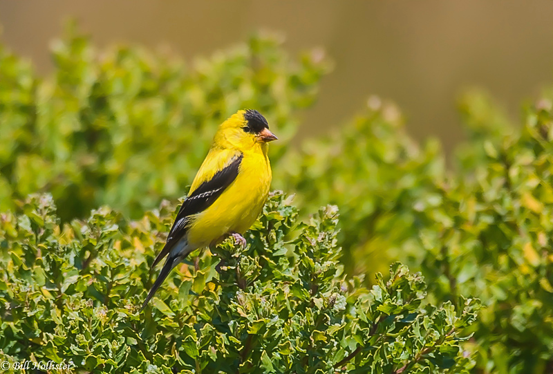 Goldfinch male-Edit