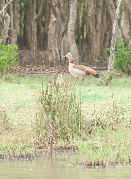 Egyptian Geese 2
