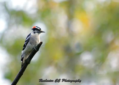 Downy Woodpecker in Black Creek Park