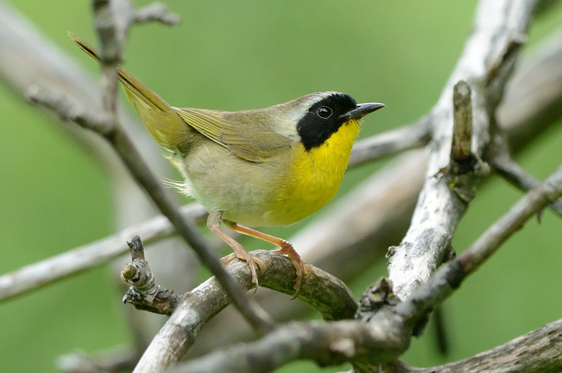 Yellowthroat Wabler