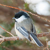 Fluffed up Chickadee