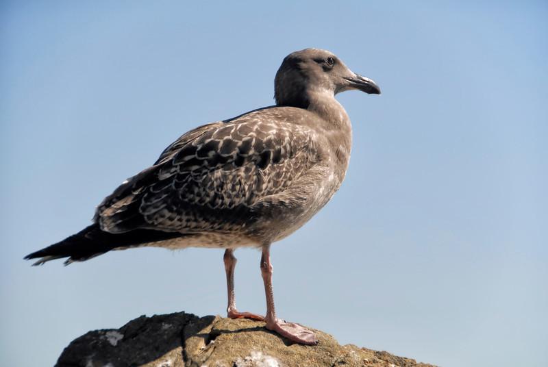 California Gull (Larus californicus - 1st year plumage
