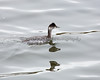 Eared Grebe - Early October  (Podiceps nigricollis)