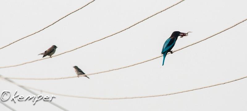 White-breasted Kingfisher w/lizard