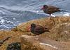Black Oystercatcher Haematopus bachmani