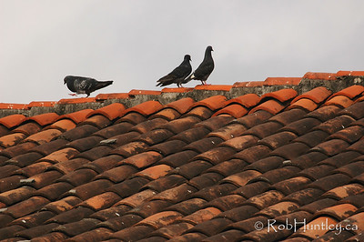 Pigeons on a tile roof in Santa Cruz Huatulco, Mexico.  © Rob Huntley