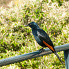 Male Red-winged Starling at Cape Point