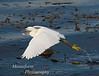 Snowy Egret- Egretta thula Monterey Ca