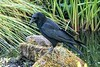 Crow, Royal Botanical Gardens, Edinburgh, 06-28-2018