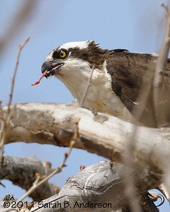 Osprey and meal  Occoquan NWR Woodbridge, VA March 2011