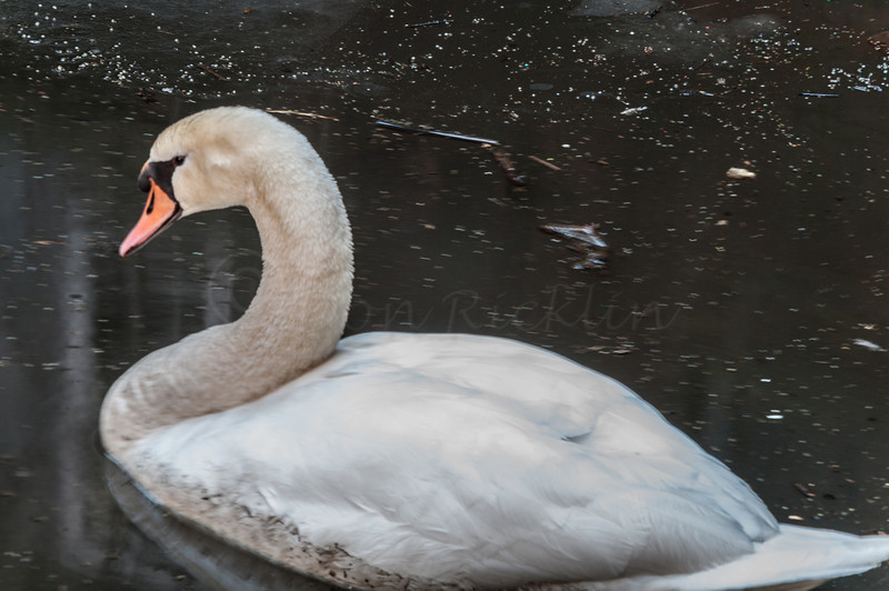 Swan in squalor.