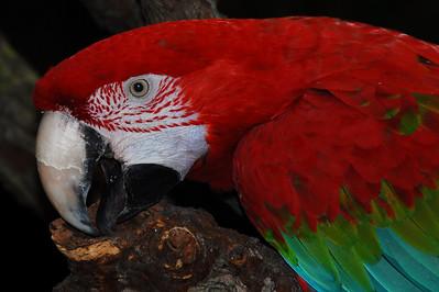 Green-winged Macaw (Ara Chloroptera)