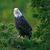 Bald Eagle, Snake River, Idaho
