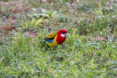 Eastern Rosella feeding in the grass, Boat Harbour, NSW