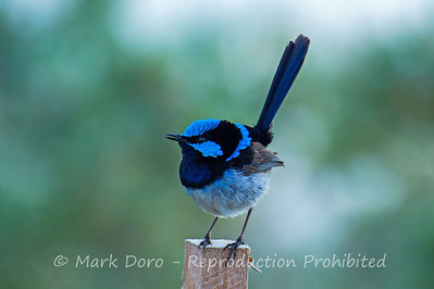 Superb Fairy-Wren, Altona, Victoria