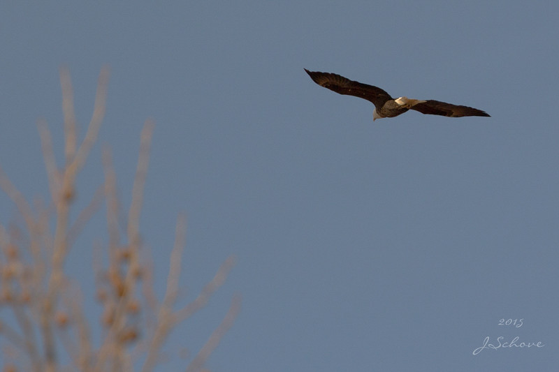 IMAGE: http://jschove.smugmug.com/Nature/Birds/i-zjcrRbr/0/L/BaldEagle_7459_crop_small-L.jpg