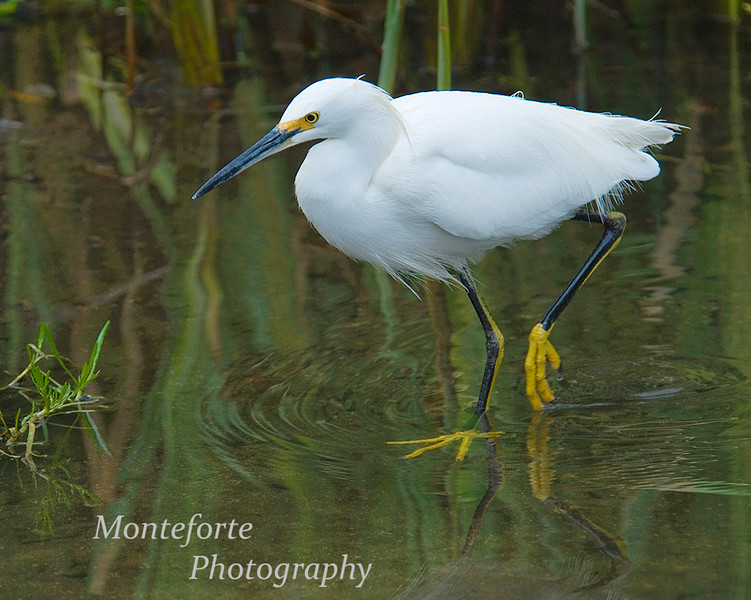 Snowy Egret - Egretta thula - in the lakes district, Monterey California
