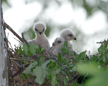 052408 Coopers Chicks -24-Edit