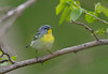 Northern Parula - May 2014