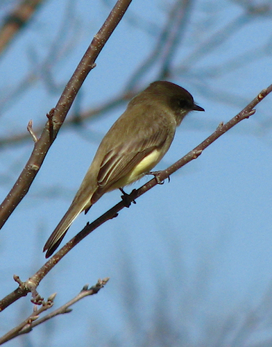 An eastern phoebe (Sayornis phoebe) perched on a bare branch (20080120_01484)