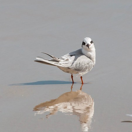 Tern Checking out the Lady in the Sand