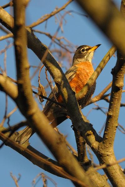 American Robin<br /> Cabin John, Maryland