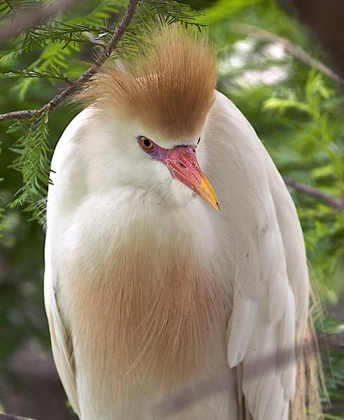 Cattle Egret, St. Augustine, Florida