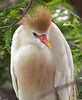 Cattle Egret, St. Augustine, Florida