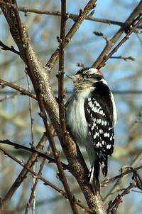 Chunky downey woodpecker