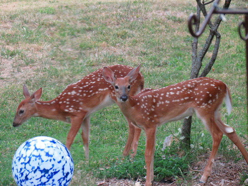 Taken through the window late in the evening.<br /> These twin fawns were dropped off in the back yard to stay out of trouble<br /> while their mother was browsing around the field.