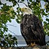 Confident Sub-Adult Bald Eagle